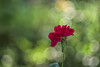 Red Beauty (fs999) Tags: 100iso fs999 fschneider aficionados zinzins pentaxist pentaxian pentax k1 pentaxk1 fullframe justpentax flickrlovers ashotadayorso topqualityimage topqualityimageonly artcafe pentaxart corel paintshop paintshoppro 2018ultimate paintshoppro2018ultimate pentaxda200mmf28edsdm da200 dastar sdm 200mm masterphotos fleur flower blume bloem macrolife macro makro