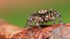 Naphrys pulex jumping spider (Tibor Nagy) Tags: naphrys pulex habrocestum spider jumper jumpingspider salticid salticidae arachnid arthropod closeup flash diffused diffuser softbox macro