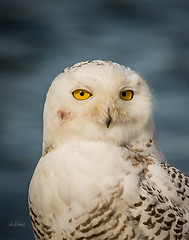 The Look! (Dr. Farnsworth) Tags: owl snowyowl head eyes yellow feathers male muskegon mi michigan fall december2017