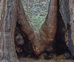 Redwood Muir Woods b10828n (Al Greening) Tags: sequoia redwood ggnra muirwoods marin