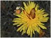 dandelion (Heinze Detlef) Tags: löwenzahn löwenzahnblüte schmetterling insekt tier makro macro