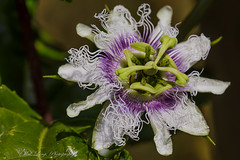 Passion fruit flower (passiflora) (Malcom Lang) Tags: passion fruit flower stem leaves anther filament style ovary stigma colour purple green white canoneos6d macro macrodreams lens180macro canon180mm