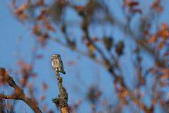 EG151024_55688 (Eric Gangloff) Tags: aves birds chevêchettedeurope chouette eurasianpygmyowl glaucidiumpasserinum oiseaux strigidae strigidés strigiformes
