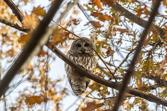 Barred Owl (James Kaboth) Tags: barred owl raptor talons feathers silent
