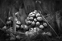 mushmoticons (michaelmueller410) Tags: pilze mushrooms winter bw schwarzweis baumstumpf herbst autumn fall tree stump mood grass nature harz osterode