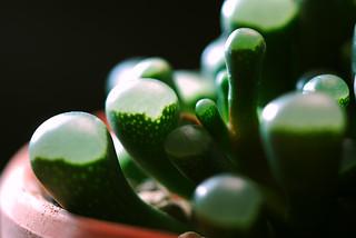 五十鈴玉  Fenestraria aurantiaca