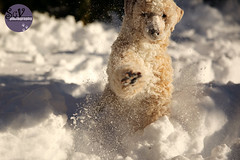 11*12 months of Charlotte - Snow monster (sgv cats and dogs) Tags: 12monthsfordogs17 charlotte poodle snow fun monster paw blast snowy nose
