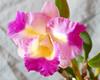 Cattleya Unknown [Fire #1] hybrid orchid (nolehace) Tags: cattleya unknown fire 1 hybrid orchid 1017 fall nolehace sanfrancisco fz1000 flower bloom plant