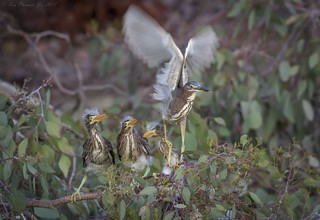 Green Herons just fed