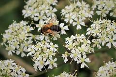 Bee ID needed (JulieK (thanks for 6 million views)) Tags: hbbbt bee hogweed macro grangebeach fauna flora wildflower ireland irish wexford invertebrate canoneos100d