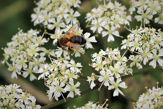 Bee ID needed