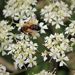 Bee ID needed thumbnail