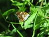 Petit sylvain_Limenitis camilla (bouillons vagabonds) Tags: bosnie lépidoptères rhopalocères