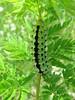 IMG_2631 (FILEminimizer) (bouillons vagabonds) Tags: bosnie lépidoptères rhopalocères