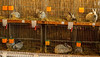 Kleintierausstellung 171125_1A (Landfotograf) Tags: traiskirchen kleintierausstellung kleintiere hasen ausstellung haustiere kaninchen