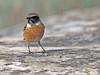 Tarabilla europea (Saxicola rubicola) (6) (eb3alfmiguel) Tags: aves passeriformes insectívoros turdidos turdidae tarabilla europea saxicola rubicola pájaros