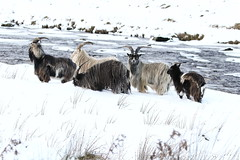 Feral Goats (blootoonloon1( No to Badger Cull)) Tags: feral goats wild free animals nature wildlife scotland highlands winter snow colours
