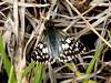 Adepta Checkered Skipper (d_taron) Tags: ecuador imbabura butterflies hesperiidae pyrginae pyrgus pyrgusadepta