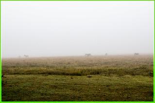 Zebras in the mist