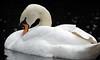 swan artis BB2A7104 (j.a.kok) Tags: vogel bird zwaan swan wildezwaan watervogel artis