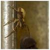 Take-away tucker! (The Manic Macrographer) Tags: spider arachnid macro canon7d canonef100mmf28lmacroisusm extensiontubes garden outdoors arthropoda fauna peterborough uk prey feeding nikkvalentine themanicmacrographer