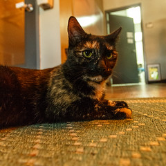 javacats10Dec20170183.jpg (fredstrobel) Tags: javacafecats javacatscafe atlanta places animals ga pets cats usa georgia unitedstates us