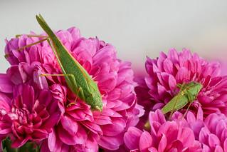 Grashoppers