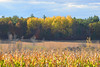The golden layers of fall (jaros 2(Ron)) Tags: field corn trees golden ontario canada stirlingontariocanada nikond800