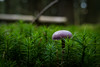 violet in green (Herr Nergal) Tags: 7dwf close up macro makro lumix fz1000 panasonic violet green rosa grün wald boden forest ground woods pilz mushroom sensor nunkirchen saarland deutschland