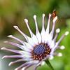 If you've got it flaunt it! (suekelly52) Tags: ladybug ladybird beautifulbugbuttthursday osteospermum
