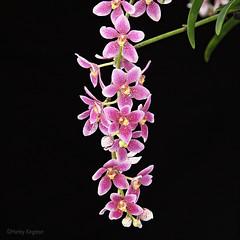 Sarcochilus Dove 'Good' x Cherie 'Doppled' (Harlz_) Tags: sarcochilus dovegood cheriedoppled hybrid orchid flower bloom
