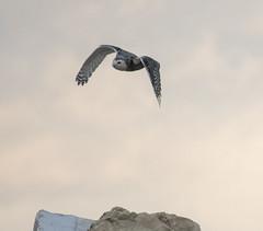 Snowy Owl (Nyctea scandiaca) (mesquakie8) Tags: bird owl flyingtothetopofacontainer juvenilefemale shotthroughacyclonefence snowyowl nycteascandiaca snow coastguardcompound milwaukee milwaukeecounty wisconsin 5098