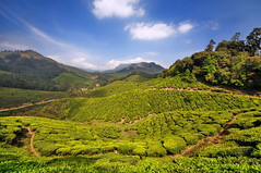India - Kerala - Munnar - Tea Plantagen - 222 (asienman) Tags: india kerala munnar teaplantagen asienmanphotography