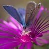 3L4A5089.jpg (Francois Berne) Tags: argusbleu papillonordrelépidoptère macro argus faune insecte