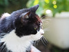 Felix Black Cat (arjuna_zbycho) Tags: felix blackcat tuxedo tuxedocat kater hauskatze cat animal cute animals pets gato kitten feline kitty kittens pet tier haustier katzen gattini gatto chat cats