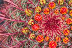 Ferocactus pilosus (FizzGE) Tags: blüte cactaceae flora kaktee makro natur pflanze bloom blossom cactus macro nature plant ferocactuspilosus mexicanlimecactus guatiza canarias•lanzarote spanien