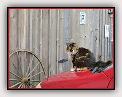 Parking... And She Did! (bigbrowneyez) Tags: cat parking car wall wood wheel wagonwheel calico flickrmamacat mamacat sweet adorable nature natura furry colours colourful vaankleekhill shoppe shop ontario canada beautiful gorgeous fluffy mildmannered animal gatta bella delightful funny fun surprise parkingshedid