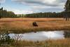 Autumn in Yellowstone (buffdawgus) Tags: autumn bison buffalo canon5dmarkiii canonef24105mmf4lisusm fall landscape lightroom6 topazsw wyoming yellowstonenationalpark
