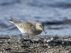 White Rumped Sandpiper (Roter Steve) Tags: shore sand
