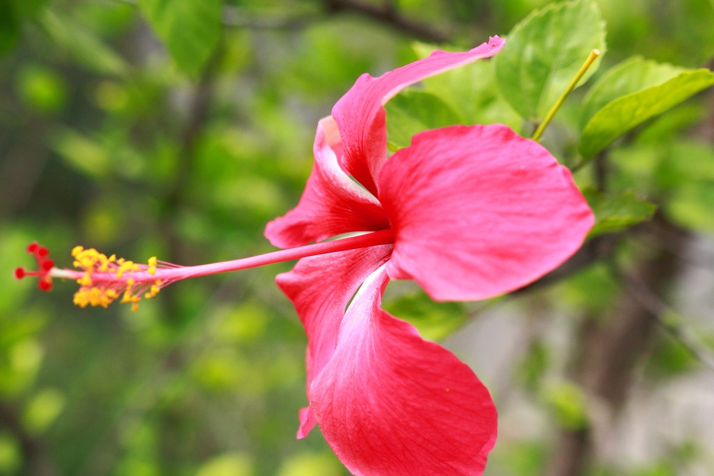tag pink hibiscus flower - photo #47