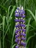 In the Long Grass (Steve Taylor (Photography)) Tags: garden green cream mauve purple uk gb england greatbritain unitedkingdom london plant flower grass elthampalace eltham
