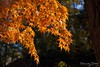 De laatste kleurtjes... (Hans van Bockel) Tags: binnenstad bomen herfst natuur natuurgebied plantsoen stad 1680mm d7200 bladeren kleur oranje explore autumn