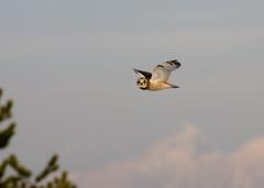Short-eared Owl_8781 (Mike Head - Jetwashphotos) Tags: owl shorteared shortearedowl southdelta delta bc britishcolumbia canada westerncanada westernregion