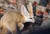 20171103-DSC09199 (Wen141541) Tags: 여우 동물 여행 24240 korea 한국 韓國 sony ilce7m2 travel 旅行 everland 動物 animal 에버랜드 fox 狐狸 fall photo photography fennec