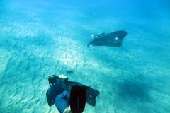 IMG_0042 copy (Aaron Lynton) Tags: manta ray canon g1x mau maui hawaii underwater blue animals nat geo fsmaui lyntonproductions