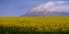 Canola and Mt Abrupt (cameron_sweeney) Tags: au aus australia australian canon canon135mmf2 gpt gariwerd grampiansnationalpark grampianspeaktrail landscape metabonesefemount photography sony sonya7r thegrampians timelapse vic victoria a7r wwwcameronsweeneycomau