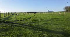 Là où finit la campagne (151//365) (chando*) Tags: 365 airplane avion brusselsairport moutons project365 sheep steenokkerzeel