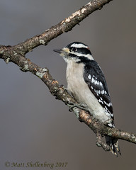 Downy Woodpecker (Matt Shellenberg) Tags: downy woodpecker downywoodpecker
