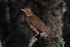 023.jpg (Kico Lopez) Tags: turdusphilomelos miño lugo aves galicia birds zorzal spain rio