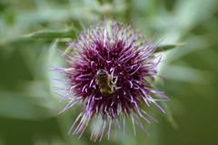 Busy bee (dfromonteil) Tags: bee abeille bug insect insecte animal fleur flower plant plante macro bokeh pollinate pollen vert violet indigo purple pourpre green colors couleurs light lumière nature